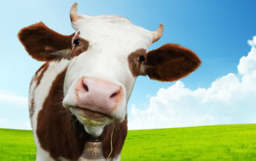 cow's protein